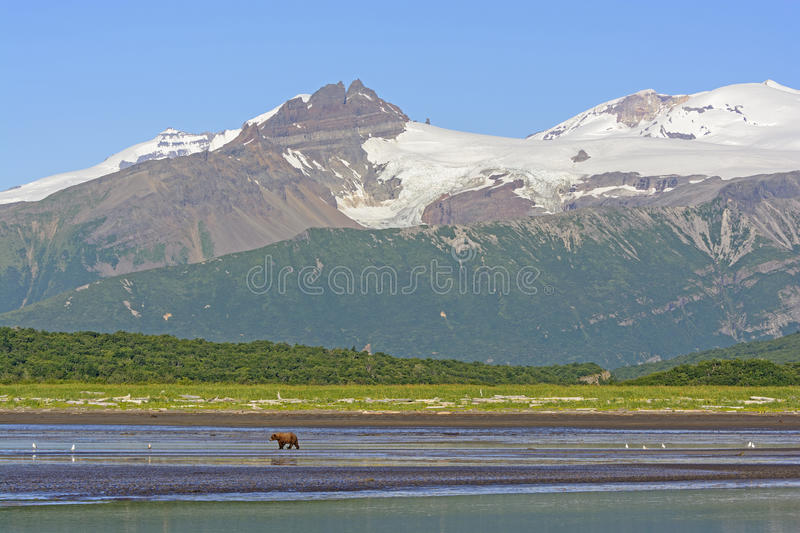Grizzly Bear Bear Walking on a Tidal Flat Beneath the Mountains. In Hallo Bay of Katmai National Park in Alaska royalty free stock images