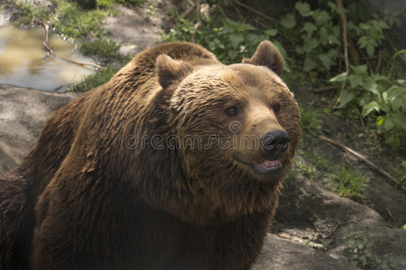 Grizzly bear. Brown bear, wet stock photo