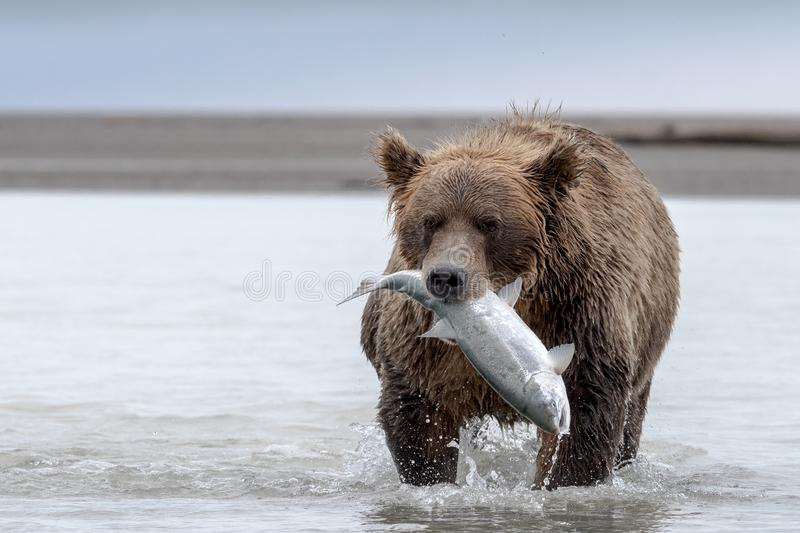 Grizzly bear with a big Salmon. A Grizzly bear carrying a Salmon. The water is shallow due to low tide. Photo taken on August, 2016, Hallo Bay, Katmai National stock photo