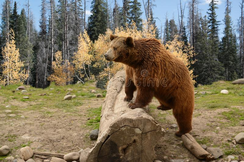 Grizzly Bear Climbing Over Old Log In Autumn Woods stock photography