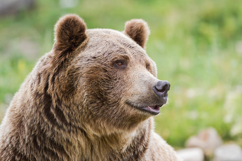 Grizzly bear. Close up of an adult grizzly bear on green grass royalty free stock photos