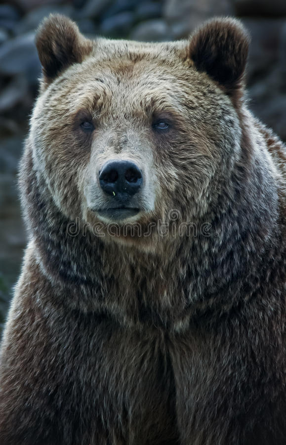 Grizzly Bear. A close up of a grizzly bear face royalty free stock photography