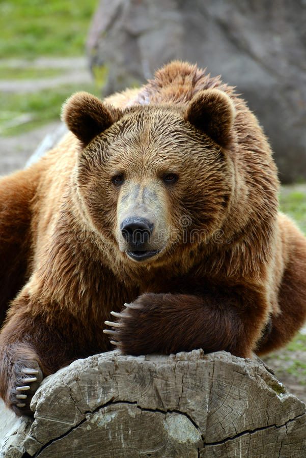Grizzly bear closeup lounging on a log. In Yellowstone National Park royalty free stock photos