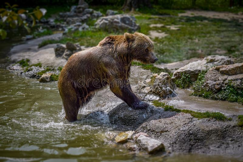 Grizzly bear comes out of the water with a green background. stock photo