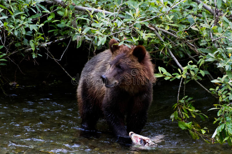 Grizzly bear cub. Catching Salmon at hyder Alaska royalty free stock image