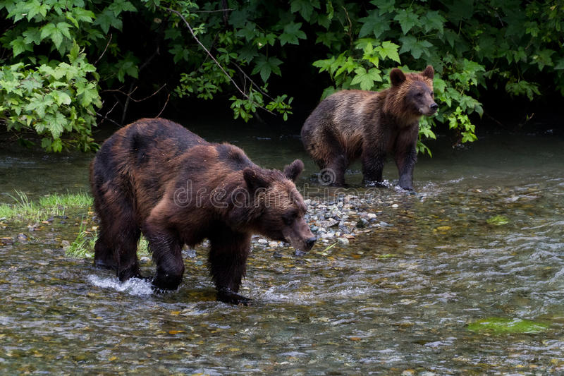 Grizzly bear. And Bear Cub Catching Salmon at hyder Alaska stock photo