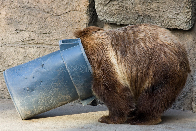 Grizzly Bear Digging in a Trash Can stock photography