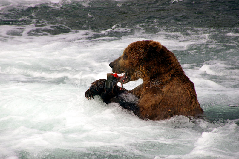 Grizzly Bear eats Salmon stock images
