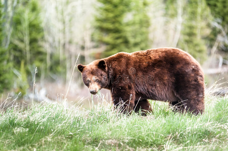 Grizzly bear encounter 3 royalty free stock image