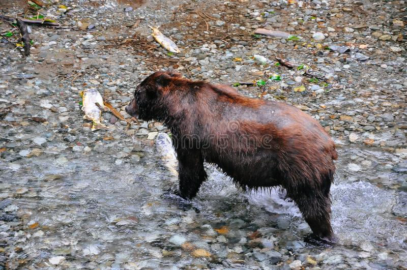 Grizzly Bear feeding on salmon in Hyder, Alaska. Grizzly Bear feeding on salmon at the Fish Creek Wildlife Observation site in Hyder, Alaska royalty free stock images