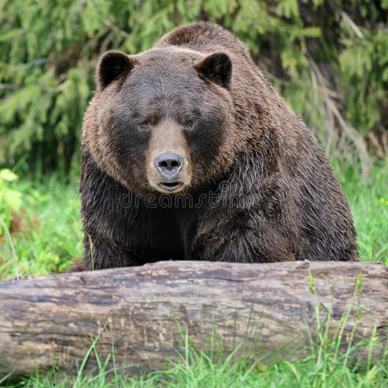 Grizzly bear in forest royalty free stock photography
