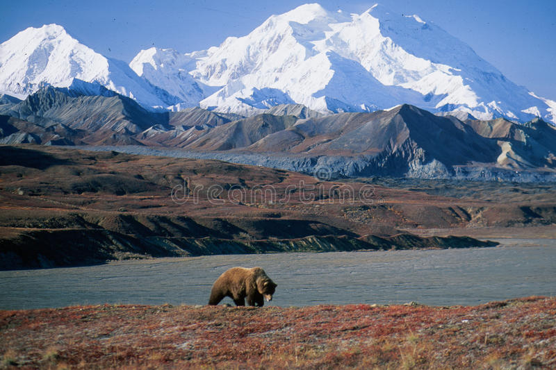 Grizzly bear in front of Mt McKinley royalty free stock images