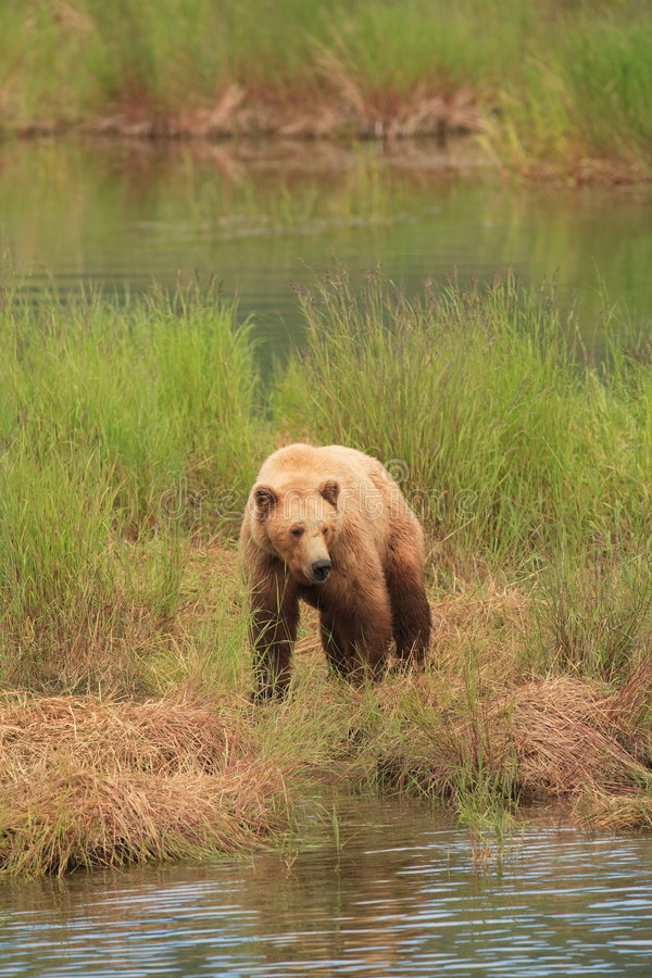 Grizzly Bear Gaze II Royalty Free Stock Image