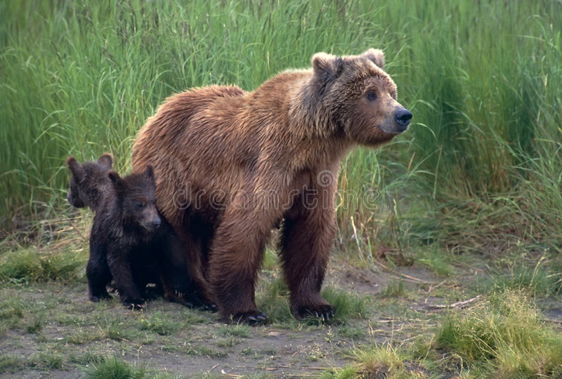 Grizzly bear with her cubs royalty free stock photos