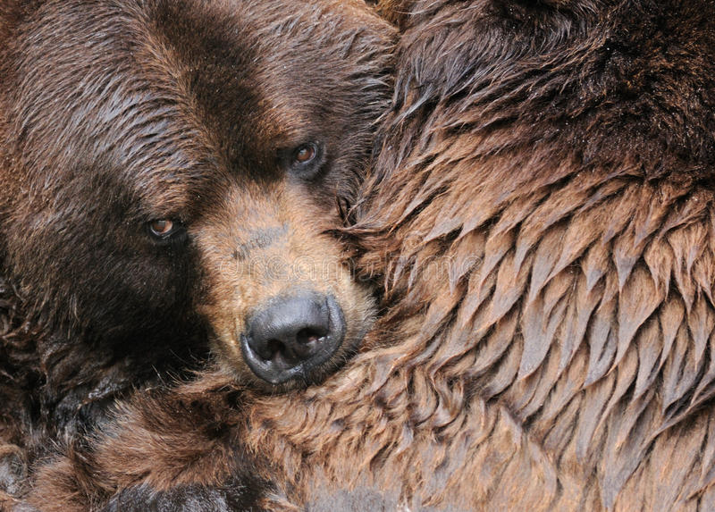 Grizzly bear hug royalty free stock image