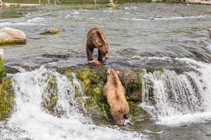 Grizzly bear looks for a handout at Brooks Falls in Katmai, AK. Grizzly bear looking for a handout from another grizzly bear with a fresh catch at Brooks Falls royalty free stock images