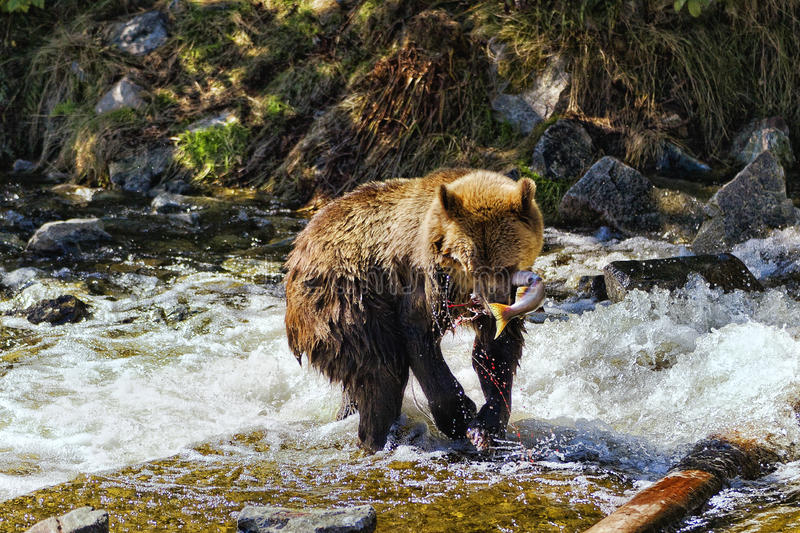 Grizzly Bear with pink salmon stock photo