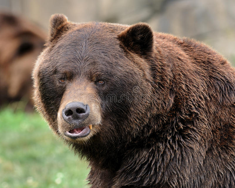 Grizzly bear portrait royalty free stock images