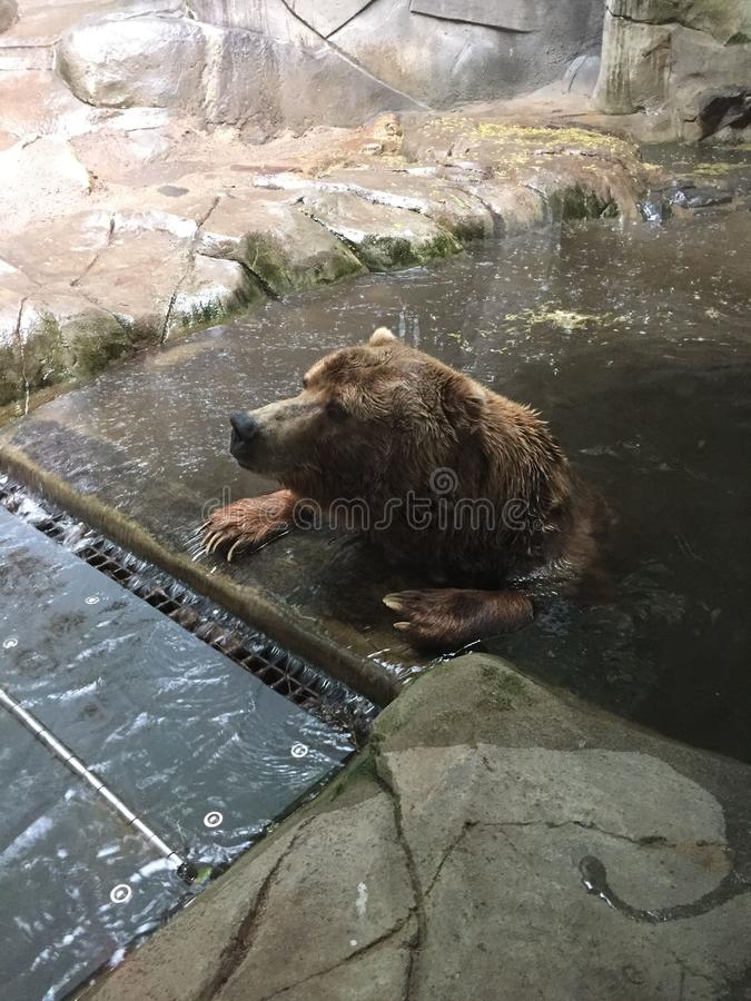 Grizzly Bear sitting in a pool with paws on the edge waiting for a storm to pass royalty free stock photography