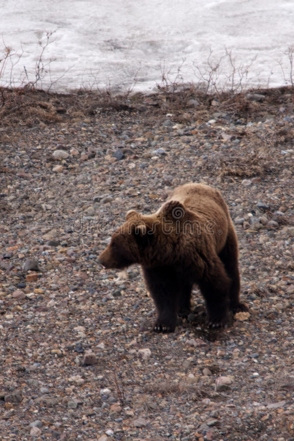 Download Grizzly Bear in Spring, II stock photo. Image of hunt - 14610292