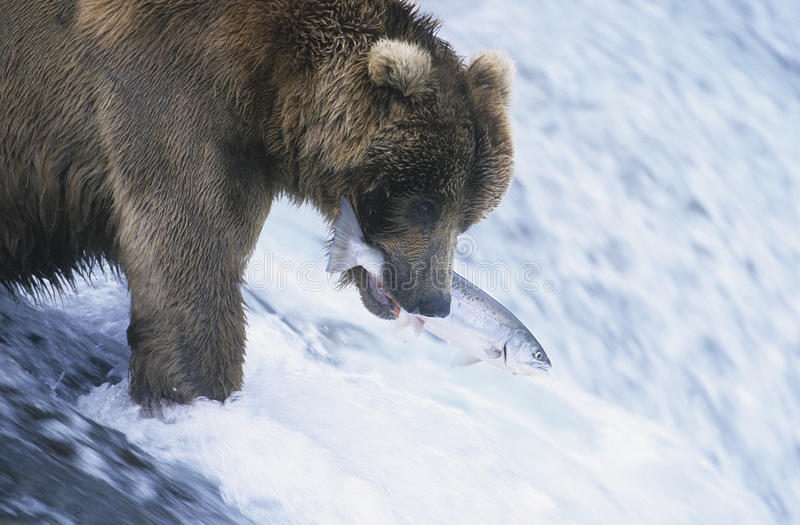 Grizzly bear swimming with fish in mouth royalty free stock images