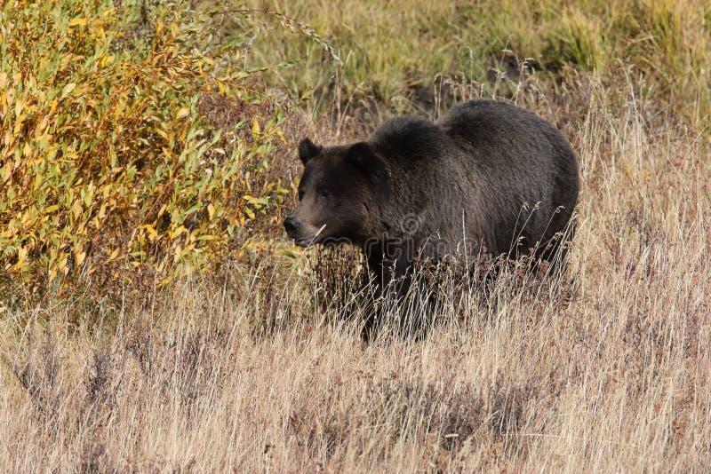 Grizzly Bear w dolinie Lamar w parku narodowym Yellowstone, Wyoming, Stany Zjednoczone Ameryki obraz royalty free