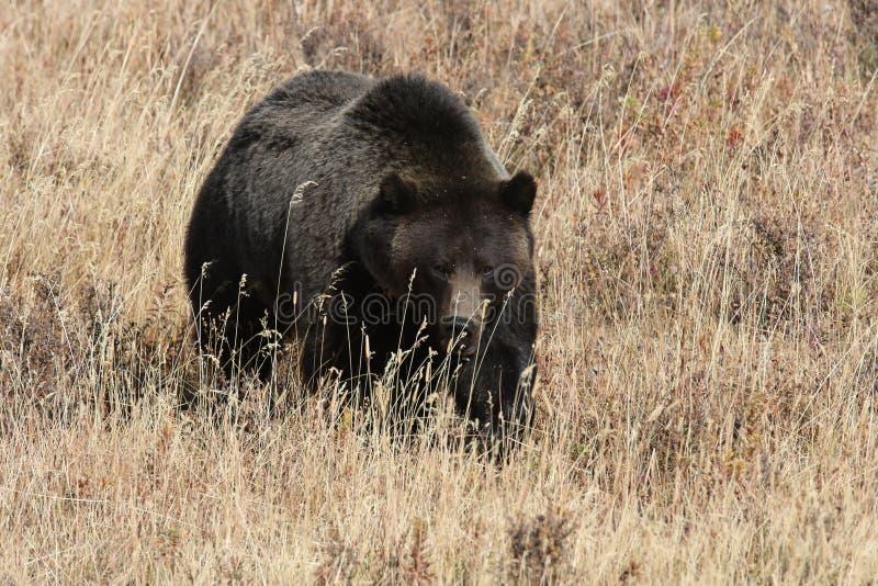 Grizzly Bear w dolinie Lamar w parku narodowym Yellowstone, Wyoming, Stany Zjednoczone Ameryki zdjęcie stock