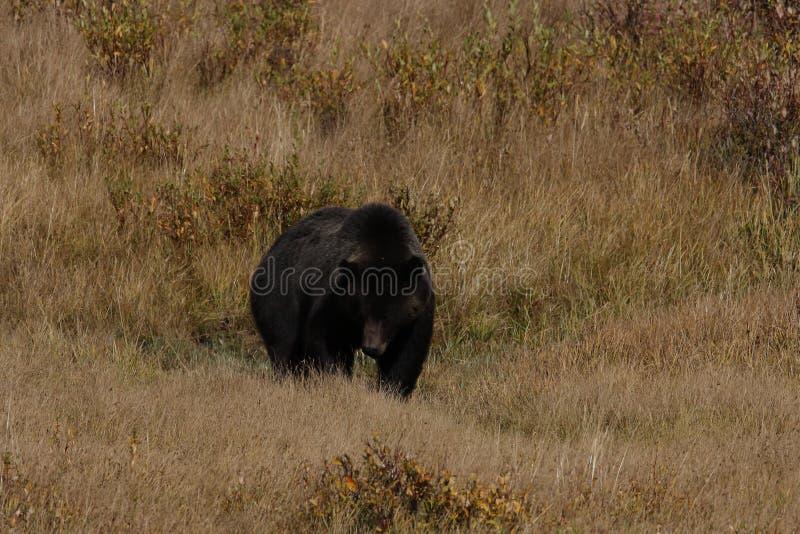 Grizzly Bear w dolinie Lamar w Parku Narodowym Yellowstone, Wyoming, Stany Zjednoczone Ameryki zdjęcia royalty free