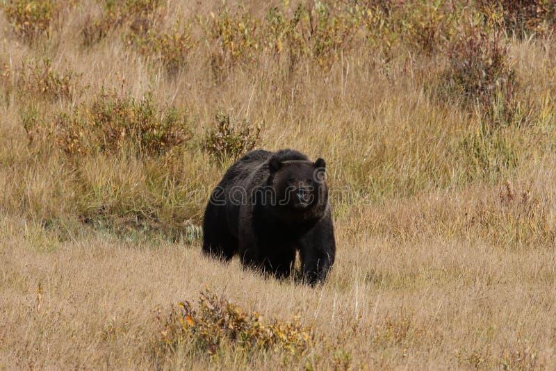 Grizzly Bear w dolinie Lamar w Parku Narodowym Yellowstone, Wyoming, Stany Zjednoczone Ameryki obrazy stock