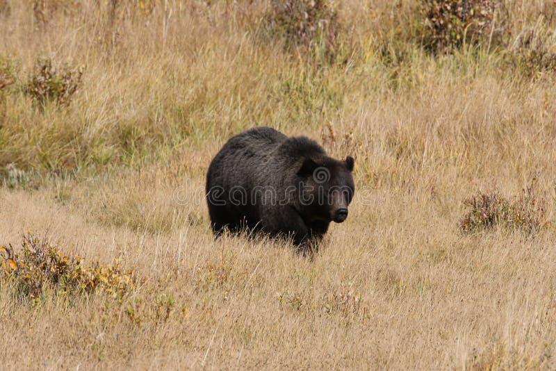 Grizzly Bear w dolinie Lamar w Parku Narodowym Yellowstone, Wyoming, Stany Zjednoczone Ameryki fotografia stock