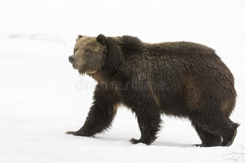Grizzly bear walking on deep snow at beginning of spring stock image