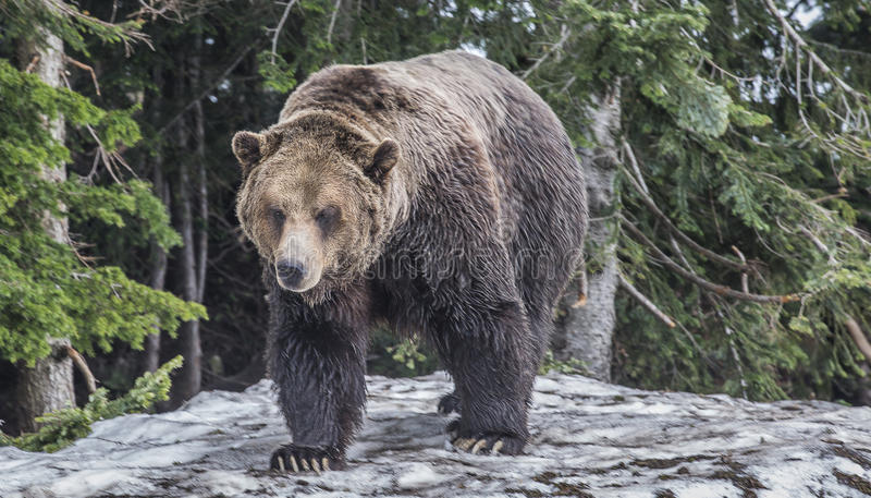 Grizzly bear walking in forest stock photography