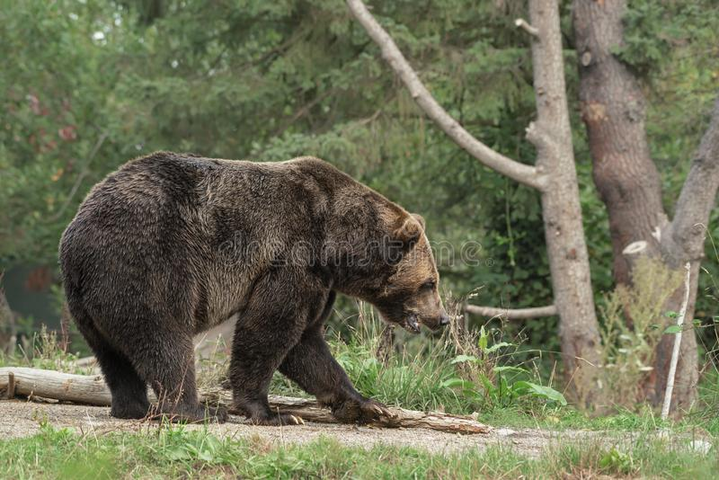 Grizzly bear walking on a pathway with a blurred forest in the background royalty free stock photos