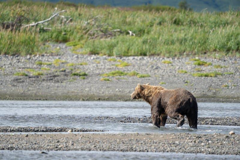 Alaskan coastal brown bear grizzly walks along the beach at Katmai National Park royalty free stock photos