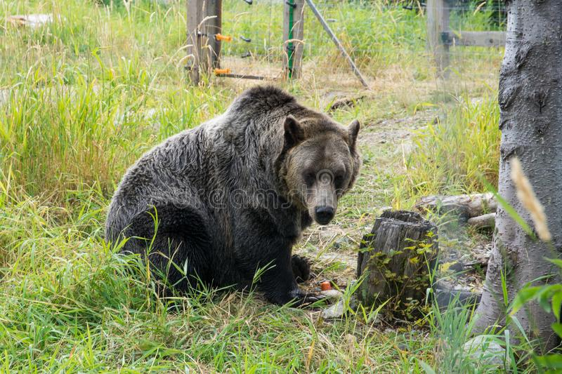 Grizzly bear in a wildlife cage on the mountains in North Vancouver, Canada ,BC. Grizzly bear in a wildlife cage on the mountains in North Vancouver, Canada stock image