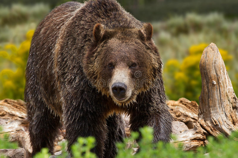 Grizzly Bear in Yellowstone National Park. Large grizzly bear in Yellowstone National Park, United States stock image