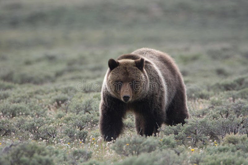 Grizzly Bear in Yellowstone National Park stock image