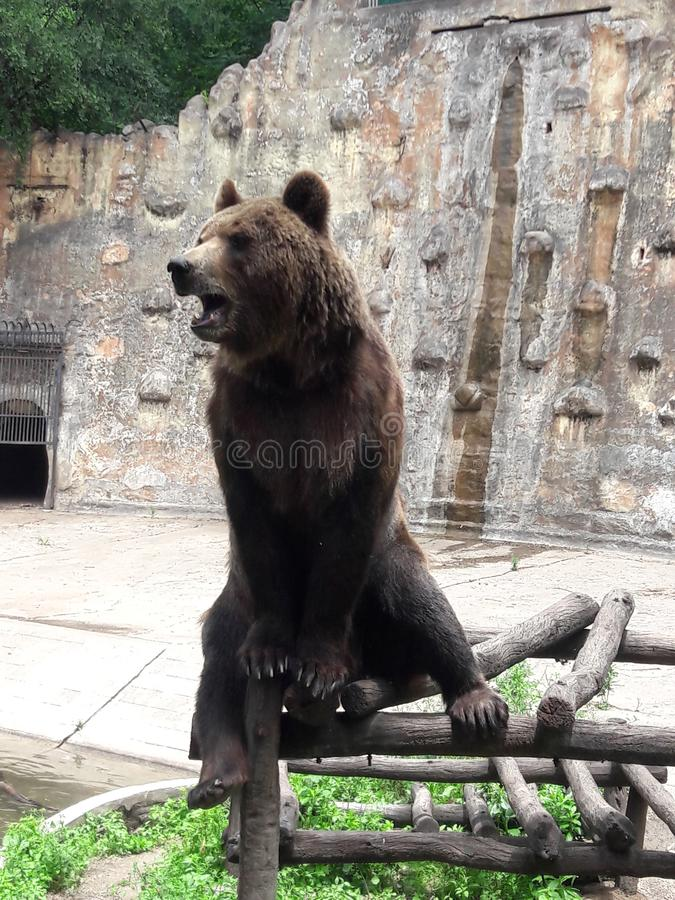 Grizzly Bear in zoo in Cordoba Argentina South America royalty free stock images