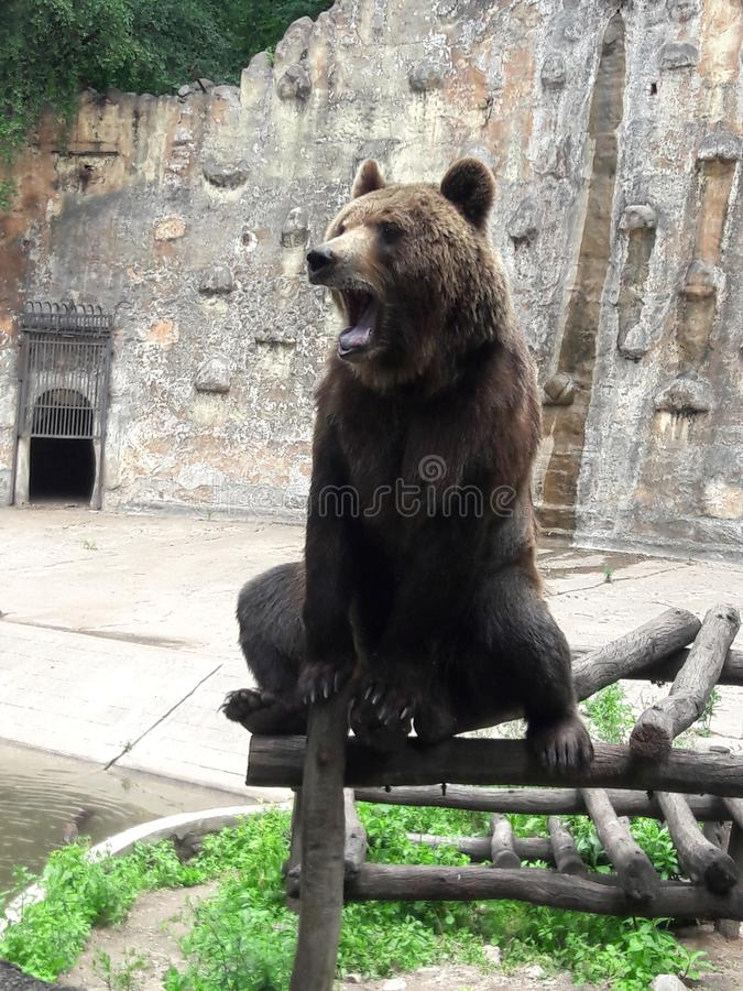 Grizzly Bear in zoo in Cordoba Argentina South America stock photos