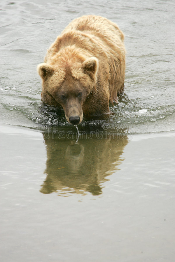 Grizzly bears stock photography