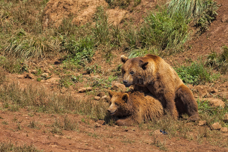 Grizzly bears copulating. stock photo