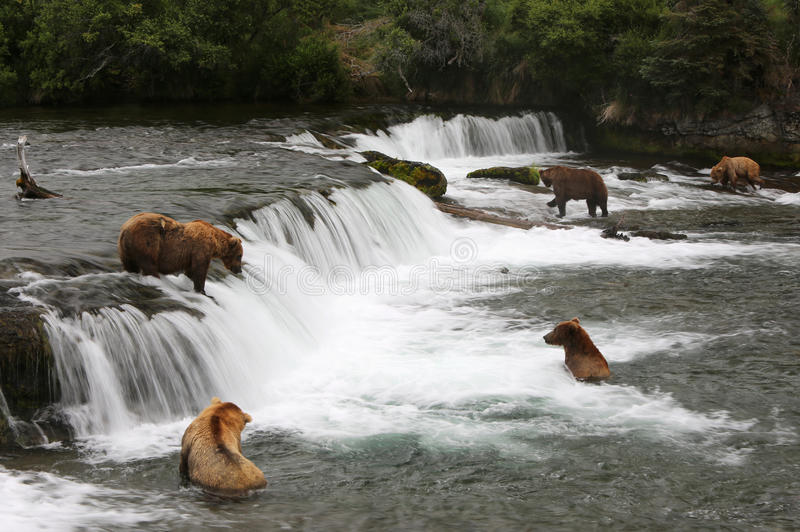 Grizzly bears, Brooks Falls stock photos