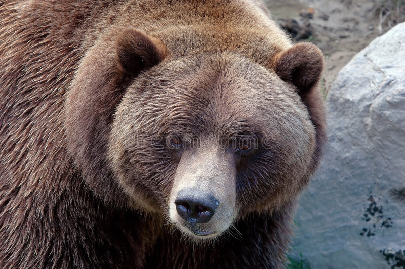 Grizzly close-up royalty free stock photos