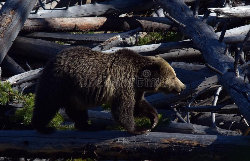 Grizzly crossing the logs stock images