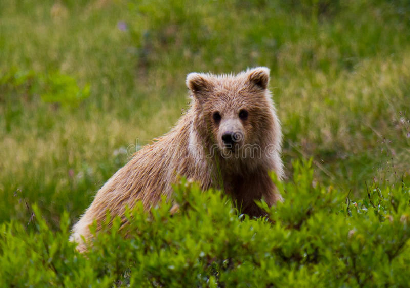 Download Grizzly Cub In Denali National Park, Alaska Stock Image - Image: 20586513