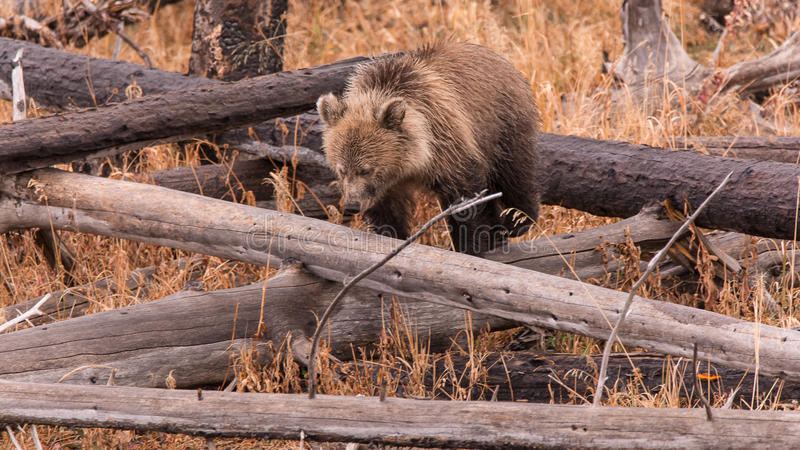 Grizzly Cub. Negotiates a fallen tree as it searches for edibles in Yellowstone National Park, Wyoming stock photo