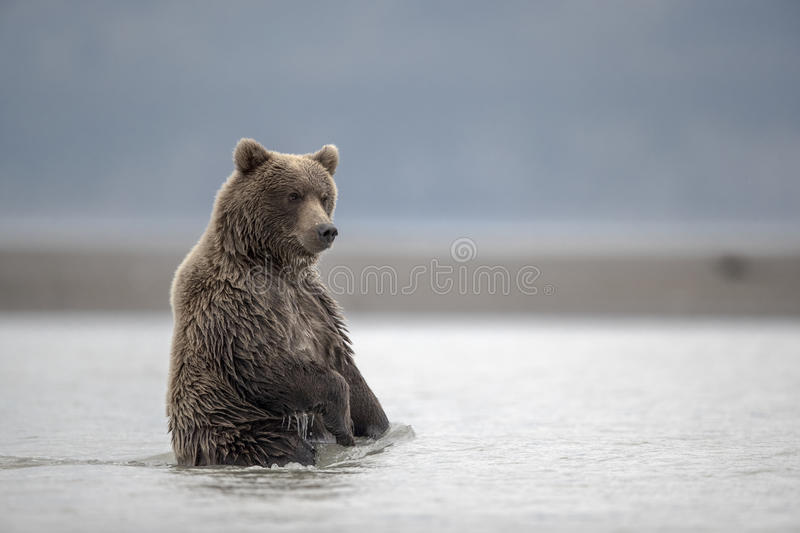 Grizzly cub waiting for food. royalty free stock photo
