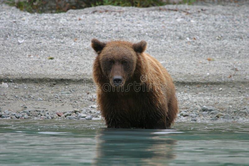 Grizzly die in het meer van Alaska vissen stock foto