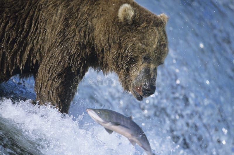Grizzly die met vissen in mond zwemmen royalty-vrije stock foto