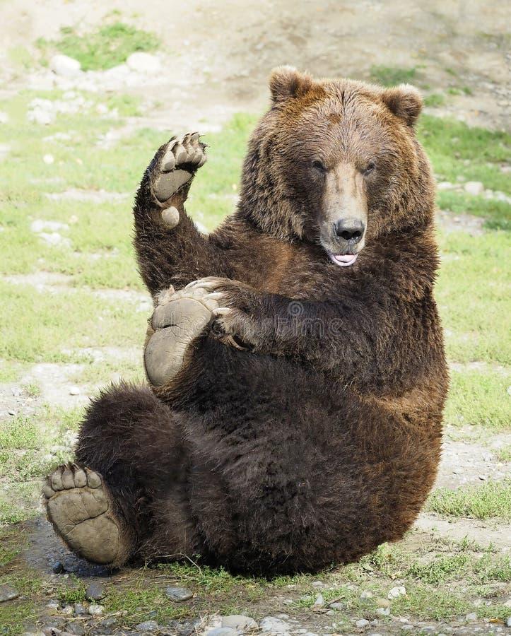 Grizzly die Yoga doen terwijl het Golven aan Zijn Ventilators royalty-vrije stock afbeeldingen